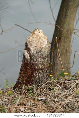 remnant of a tree cut by a beaver in Poodri, Czech Republic