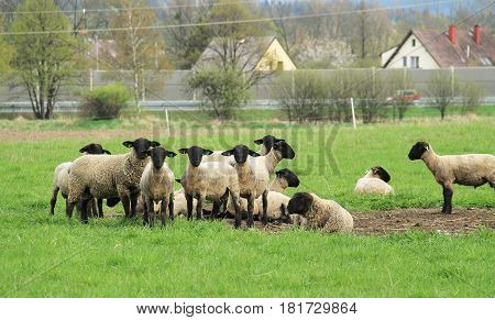 herd of sheep pasturing on the green meadow