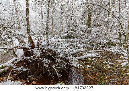 Winter landscape of natural forest with dead oak tree trunks lying, Bialowieza Forest, Poland, Europe