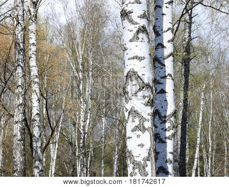 Trunks of birch trees in forest / birches in sunlight in spring / birch trees in bright sunshine / birch trees with white bark / beautiful landscape with white birches