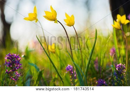 Yellow and purple spring flowers on the meadow. Tulipa Biebersteiniana and Corydalis. Soft focus.