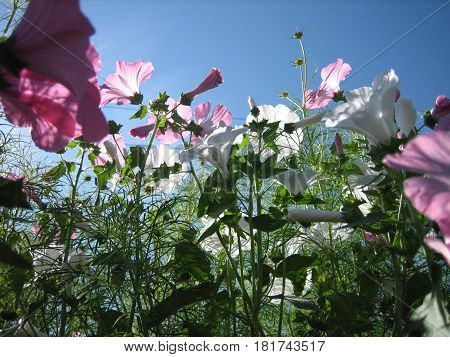 Beautiful pink flowers of convolvulus on a blue sky background horizontal view