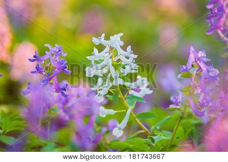 Purple Corydalis spring flowers on the meadow. Soft focus.