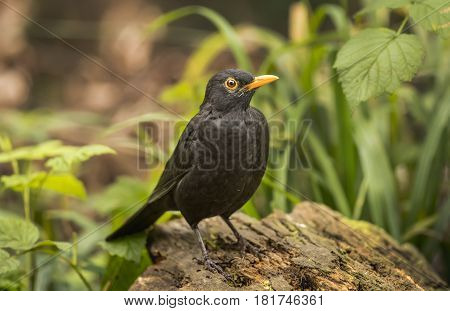 Blackbird Perched On A Tree Trunk, Close Up