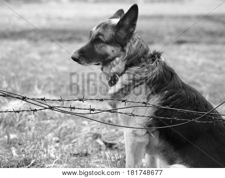 Shepherd dog guarding a territory sitting behind a barbed wire concept of security in black and white