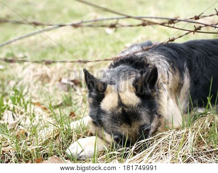 Dog in stress lying down behind a barbed wire outdoor cropped shot