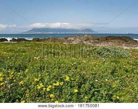 LANDSCAPE IN CAPE TOWN, SOUTH AFRICA OF FLOWERS AND ROCKS IN THE FORE GROUND, AND A CLOUD COVERED TABLE MOUNTAIN IN THE BACK GROUND