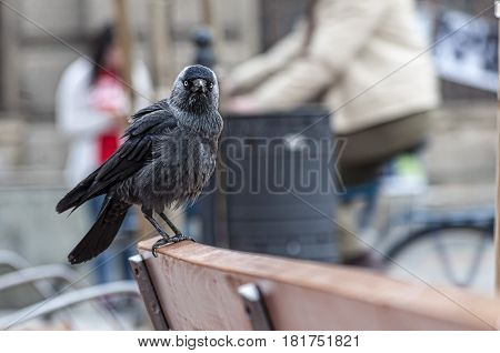 Corvus monedula. Eurasian jackdaw. Bird on a bench in the city.