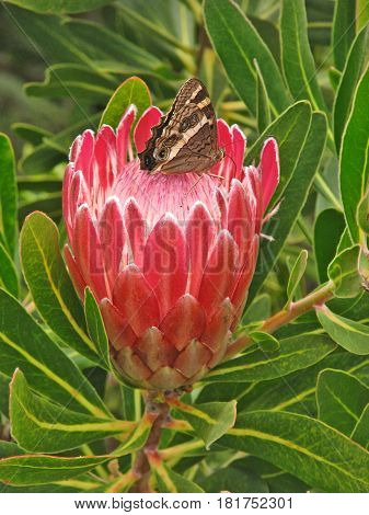 A BUTTER FLY SITTING ON TOP OF A PROTEA
