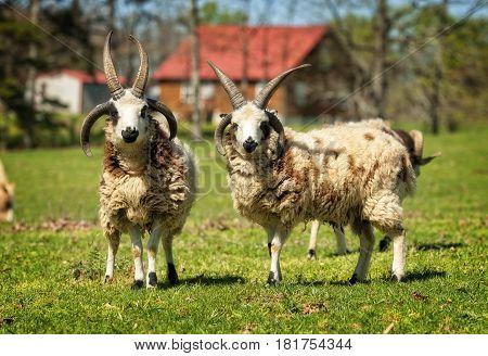 Two Jacob Sheep outdoors looking at camera