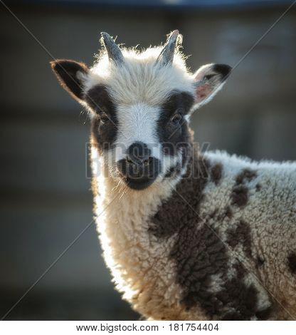 Baby Jacob sheep standing still looking at camera