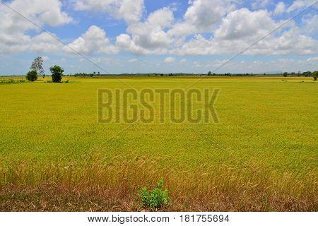 Rice Field Under Blue Sky