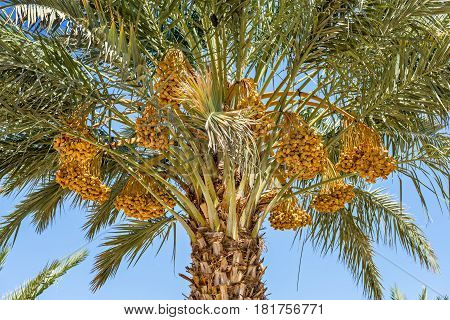 Start of ripening season of dates. Tropical agriculture industry in the Middle East