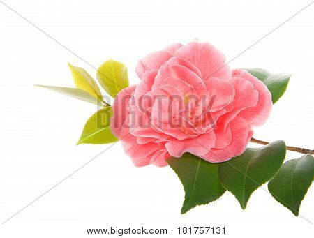 One single Camellia flower on a leafy branch isolated on white background
