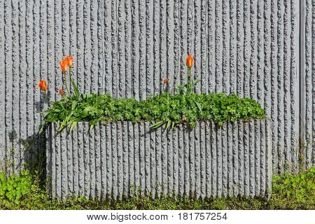 Roadside cement planter with greenery and tulip