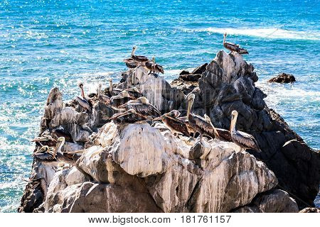 Brown Pelicans Resting On The Rocks In Chile