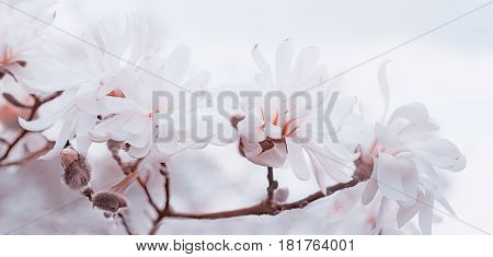 Soft White And Pink Magnolias High Key
