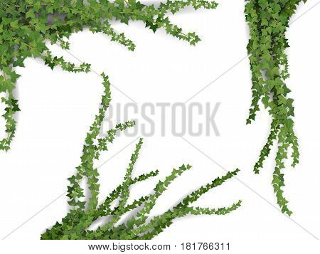 Set of realistic vector ivy plant isolated on white background. Floral design elements for decorate vintage card.