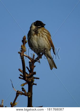 Male reed bunting set against a blue sky