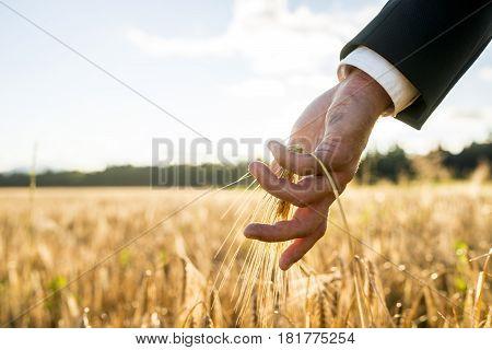 Businessman Touching An Ear Of Ripening Wheat