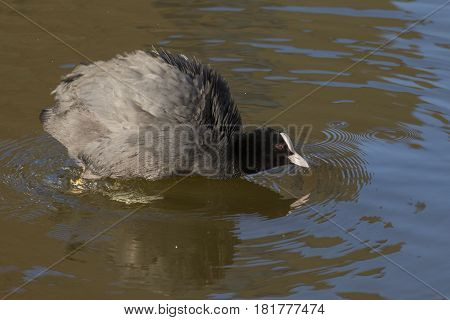Eurasian Coot (Fulica atra) adult swimming in water of a Town Canal shaking Feathers