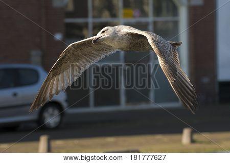 European Herring Gull (Larus argentatus) juvenile in flight above a Town Canal