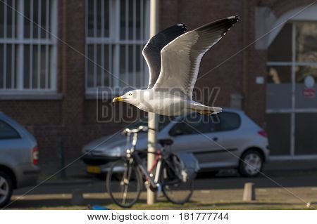 Lesser Black-backed Gull (Larus fuscus) adult in flight above a Town Canal