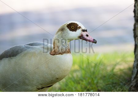 Egyptian Goose (Alopochen aegyptiacus) adult standing in a Flowerbed portrait
