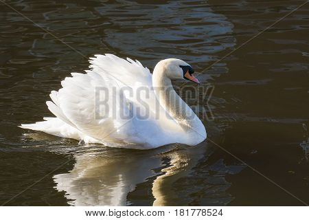Mute Swan (Cygnus olor) adult swimming in water of a Town Canal