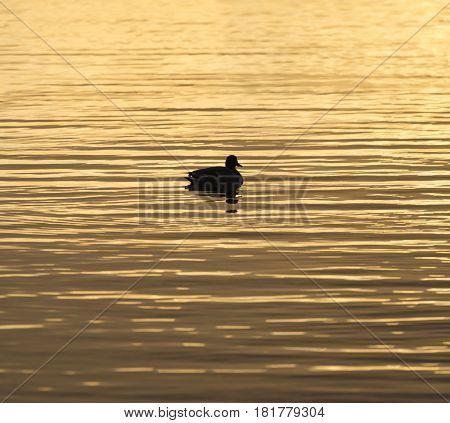 Brilliant golden waters reflecting the sunrise color bird drifting calmly in silhouette square composition
