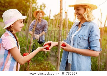 Mother with daughter gathering freshly picking tomatoes in field