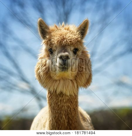Llama standing outdoors looking at me with wide eyes