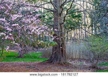 Cherry blossoms a cypress tree and meadow weeds in early Spring Holmdel Park New Jersey.