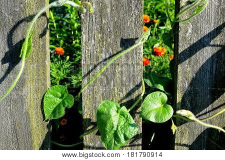 plant tightly entangling old wooden rural fence