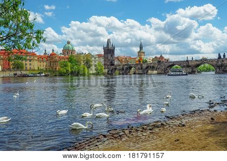 View of the Prague skyline and Charles Bridge from Vltava riverside with swans swimming in the river on a sunny spring day.