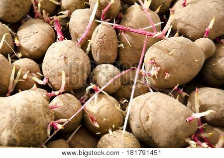 Tubers of sprouted old potatoes during storage.