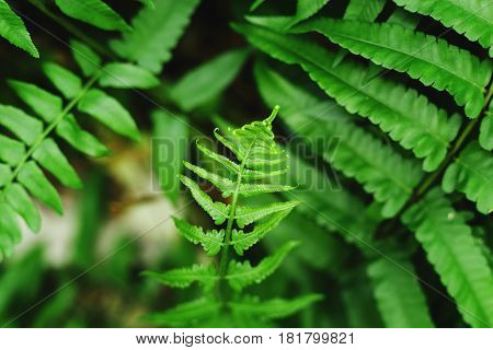 Beautiful ferns leaves green foliage natural floral fern background in sunlight.