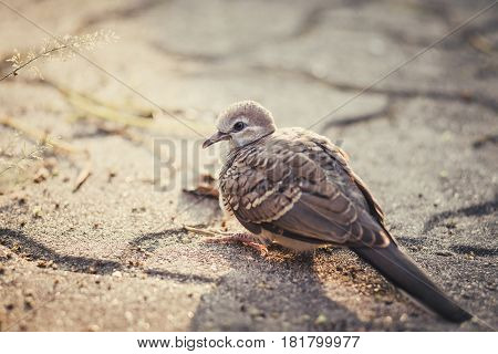 Mourning Dove looking for food. Lovely bird