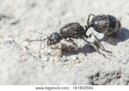 Big black ant a queen without wings