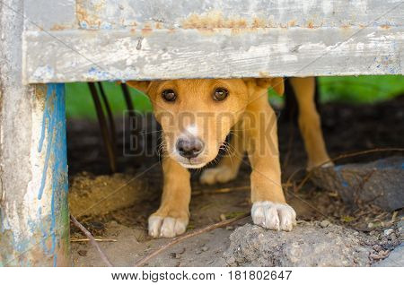 homeless stray red dog puppy hides behind a fence