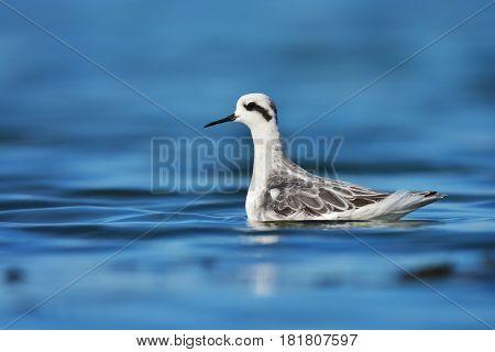 Red-necked Phalarope Bird