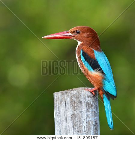 White-throated Kingfisher Bird
