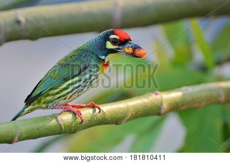 Coppersmith Barbet Bird
