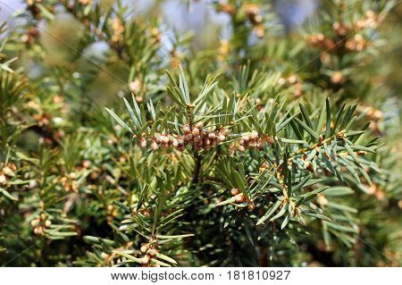 European yew tree or English yew (Taxus baccata) in spring