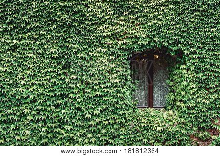 Window of an old house with wall overgrown by wild grapes. Castle site