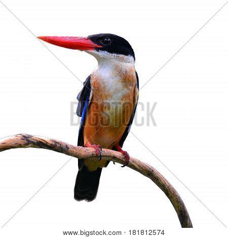 Black Capped Kingfisher Bird