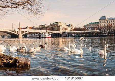 Swans On The Vltava River In Prague, Czech Republic