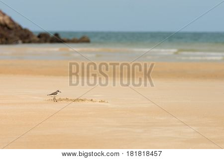 Sandpiper bird hunting for food on a golden sand beach on a sunny day with the sea in the background.