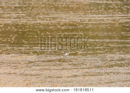 Sandpiper bird hunting for food on a wet golden sand beach on a sunny day.