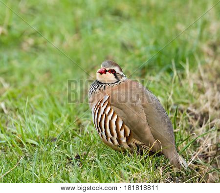 Red-legged Partridge showing distinctive plumage details in West Sussex England.